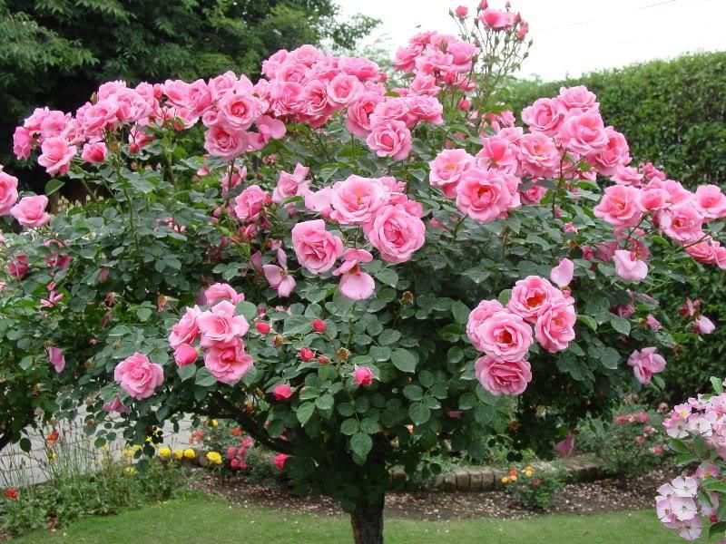 http://moniquebeauchamp.org/img4/rosier-janouderolle.jpg